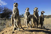 Republic Of South Africa Prints - A Group Of Meerkats Standing Guard Print by Mattias Klum