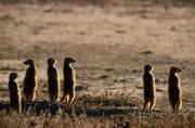 Meerkat Posters - A Group Of Meerkats, Suricata Poster by Nicole Duplaix