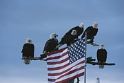 Bald Eagles Posters - A Group Of Northern American Bald Poster by Norbert Rosing
