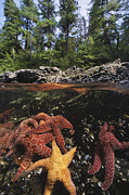 Aquatic Framed Prints - A Group Of Ochre Sea Stars Clustered Framed Print by Bill Curtsinger