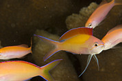 Kosrae Island Prints - A Group Of Peach Anthias Pseudanthias Print by Tim Laman