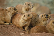 Prairie Dogs Posters - A Group Of Prairie Dogs Cluster Poster by Annie Griffiths