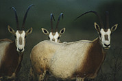 Portraits Of Animals Prints - A Group Of Scimitar Horned Oryxes Print by Joel Sartore