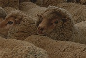 Hair Sheep Photo Prints - A Group Of Sheep Wait To Be Shorn Print by Nicole Duplaix