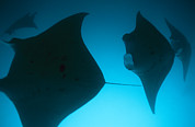 Groups Of Animals Posters - A Group Of Silhouetted Manta Rays Poster by Heather Perry