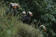 Puffins Posters - A Group Of Tufted Puffins On A Grassy Poster by George F. Mobley