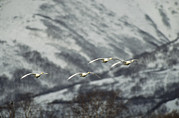 Flying Birds Prints - A Group Of Whooper Swans In Flight Print by Klaus Nigge