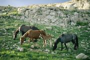 Pryor Posters - A Group Of Wild Horses Graze Poster by Raymond Gehman