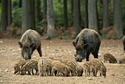 Animal Behavior Art - A Group Of Young Wild Boars Nose by Norbert Rosing