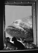 Aquariums Photos - A Grouper Is Examined By Three Kittens by Luis Marden