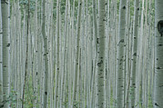 North Framed Prints - A Grove Of Aspen Trees Outside Aspen Framed Print by Taylor S. Kennedy