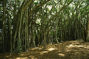 Tree Roots Prints - A Grove Of Banyan Trees Send Airborn Print by Paul Damien