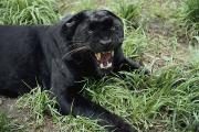Felines Photo Prints - A Growling Captive Black Leopard Print by Jason Edwards