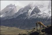 Llamas Photo Acrylic Prints - A Guanaco Lama Guanacoegrazing Acrylic Print by Jason Edwards