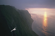 Animal Behavior Art - A Gull Soars Above Coastal Cliffs by Joel Sartore