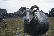 Hair Sheep Photo Prints - A Gute Sheep On Gotland Island Print by Sisse Brimberg