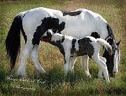 Gypsy Prints - A Gypsy Mare and her Foal Print by Terry Kirkland Cook