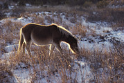 Wild Horses Prints - A Halo Of Winter Sunlight Frames Print by Medford Taylor