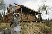 Log Cabins Prints - A Hawk Owl Sits On A Stump Near A Log Print by Michael S. Quinton