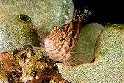 Malapascua Island Photos - A Hawkfish Perched On The Reef by Tim Laman