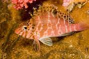 Malapascua Island Photos - A Hawkfish Resting On Coral by Tim Laman