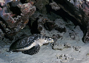 Ledge Photo Posters - A Hawksbill Sea Turtle Rests Poster by Michael Wood