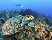 Hawksbill Sea Turtle Posters - A Hawksbill Turtle Swims Poster by Karen Doody