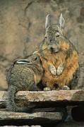 A Herbivorous Viscacha Nurses Her Baby Print by Joel Sartore