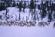 Snow Scenes Posters - A Herd Of Barren-ground Caribou Poster by Paul Nicklen