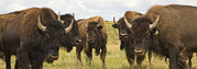 Urban Scenes Photos - A Herd Of Bison Stand In A Field by Ralph Lee Hopkins