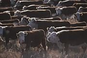 Ranchers Prints - A Herd Of Cattle On The Wyoming Range Print by Raymond Gehman