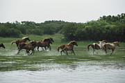 Strength In Numbers Posters - A Herd Of Chincoteague Ponies Thunder Poster by Medford Taylor