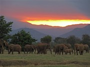 Herd Of Elephants Posters - A herd of elephants Poster by Stephen Muchiri