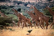 Featured Art - A Herd Of Masai Giraffes Giraffa by Tim Laman