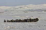 Musk Prints - A Herd of Musk Ox  Print by Tim Grams