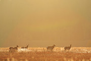 Morning Backlight Prints - A Herd Of Pronghorn In The Morning Sun Print by Drew Rush