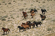 Wild Animals Metal Prints - A Herd Of Wild Horses Gallops Metal Print by Melissa Farlow