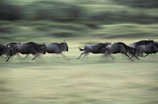 Stampede Prints - A Herd Of Wildebeest Stampede Print by Jason Edwards