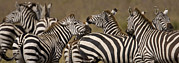 Urban Scenes Art - A Herd Of Zebra Stand In A Plain by Ralph Lee Hopkins