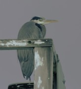 Herons Photos - A Heron On Watch  by Jeff  Swan