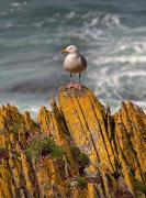 Oceanic View Prints - A Herring Gull, Colonsay, Scotland Print by Lizzie Shepherd