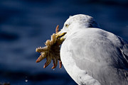 Herring Prints - A Herring Gull Holding A Sea Star Print by Tim Laman