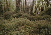 Woodland Scenes Framed Prints - A Hiker Explores A Mossy Enchanted Framed Print by Gordon Wiltsie