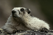 Hoary Prints - A Hoary Marmot On Alert For Predators Print by Paul Nicklen