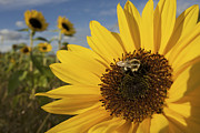 Wild-flower Posters - A Honey Bee Visiting A Sunflower Poster by Tim Laman