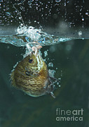 Panfish Framed Prints - A Hooked Bluegill Framed Print by Ted Kinsman