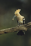 Turkey Metal Prints - A Hoopoe With An Insect In Its Bill Metal Print by Klaus Nigge