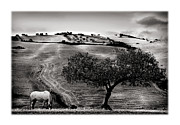 Grazing Horse Posters - A Horse and an Olive Tree Poster by Mal Bray