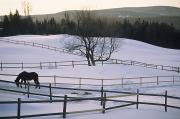 Northeast Framed Prints - A Horse Paws The Snow In Its Paddock Framed Print by Michael S. Yamashita