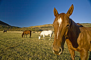 Dude Ranch Posters - A Horse Stands In A Field On A Summer Poster by Richard Nowitz